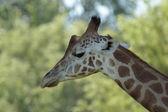 Giraffe 01 — Stock Photo