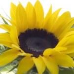 Sunflower 02 — Stock Photo