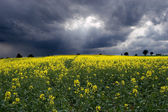 Rape field 2 — Stock Photo
