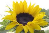 Sonnenblumen 02 — Stockfoto