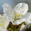 Apple blossom 10 - Stock Photo