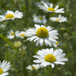 Camomile 01 - Stock Photo