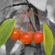 Stock Photo: Cherry 1