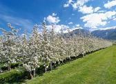 Apple blossom 03 — Stock Photo