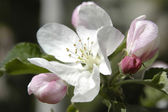Apple blossom 08 — Stock Photo