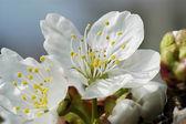 Apple blossom 10 — Stock Photo