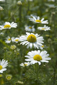 Camomile 01 — Stock Photo