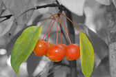 Cherry 1 — Stock Photo