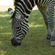 Zebra — Stock Photo #2631326