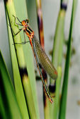 Lestes sponsa — Stock Photo