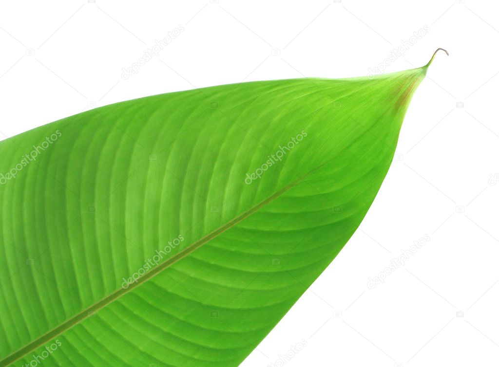 Green leaf of bird of paradise plant — Stock Photo #2465944