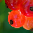 Stock Photo: Garden currant