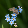 Stock Photo: Flowers forget-me-not