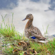 Stock Photo: Duck with ducklings