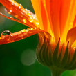 Calendula — Stock Photo #2567430