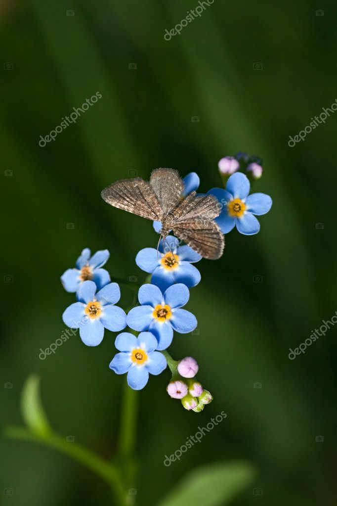 Closeup of blue flowers forget-me-not (Myosotis sylvatica) and butterfly (Geometridae) — Stock Photo #2567189