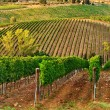 A vineyards. - Stock Photo