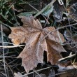 Frosty leaves — Stock Photo #2519326