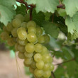 Branch of green wine grape — Stock Photo