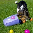 Stock Photo: Cute Beagle Puppy with Easter Basket