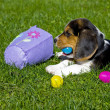 Beagle Puppy with Easter Egg Basket — Stock Photo