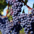 merlot grapes in vineyard — Stock Photo #2559890