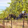 Stock Photo: merlot grapes in vineyard
