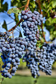 Merlot Grapes in Vineyard HDR — Stock Photo
