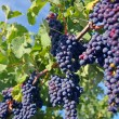 merlot grapes in vineyard — Stock Photo #2560020