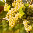 Foto Stock: Chardonnay Grapes in Vineyard