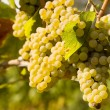 Chardonnay Grapes in Vineyard - Stock Photo