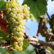 Chardonnay Grapes in Vineyard — Stock Photo #2560218