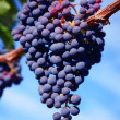 Merlot Grapes in Vineyard - Photo