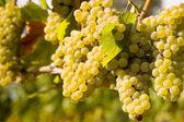 Chardonnay Grapes in Vineyard — Stock Photo
