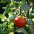 Stock Photo: Ripe Tomato Growing