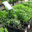 Nursery - Young Tomato Starts — Stock Photo #2585777