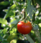Ripe Tomato Growing — Stock Photo