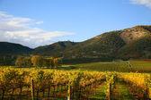 виноградник в осень — Стоковое фото