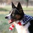 Stock Photo: AmericPride - Dog with Flag