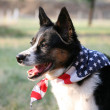 American Pride - Dog with Flag - Stock Photo