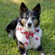 Stock Photo: AmericPride - Dog with Flag Bandanna