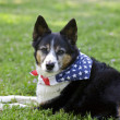 图库照片: American Pride - Dog with Flag Bandanna