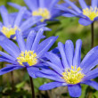 Stock Photo: Circle of Blue Flowers