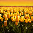 Tulip Field Sunset - Stock Photo