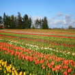 Stock Photo: Tulip Farm
