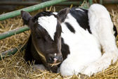 Young Calf — Stock Photo