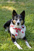 American Pride - Dog with Flag Bandanna — Stock Photo