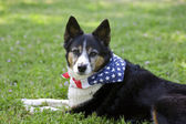 American Pride - Dog with Flag Bandanna — Stok fotoğraf
