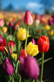 Tall Red Tulip — Stockfoto