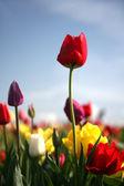 El tulipán rojo — Foto de Stock